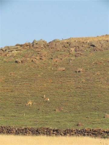 The 5 reed buck are so well camouflaged in between the rocks that they are hard to see.  The 3 oribi below..