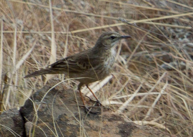 African Rock Pipit_0672