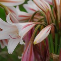 Midlands Wildflower for September - Crinum bulbispermum
