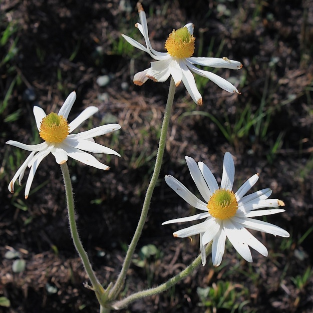 Anemone fanninii CGrant