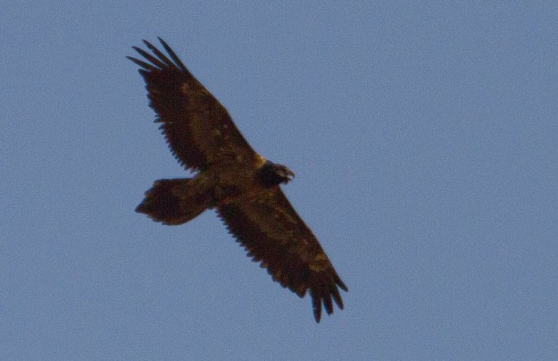 Bearded Vulture_juv_0688_s
