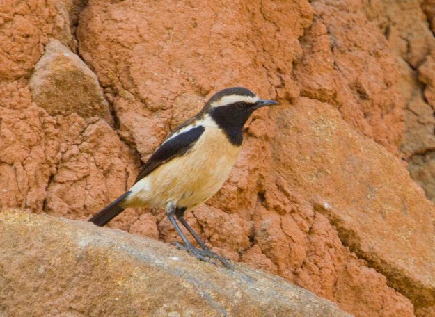 Buff-streaked Chat_0707_s