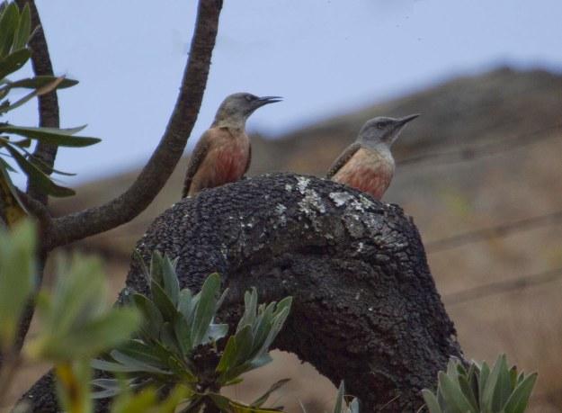 Ground Woodpecker_0686_s