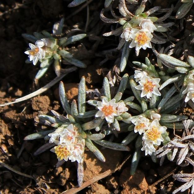 Helichrysum caespititium CGrant