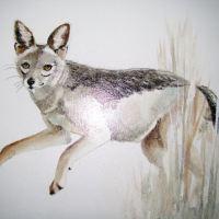 Jackal Pups