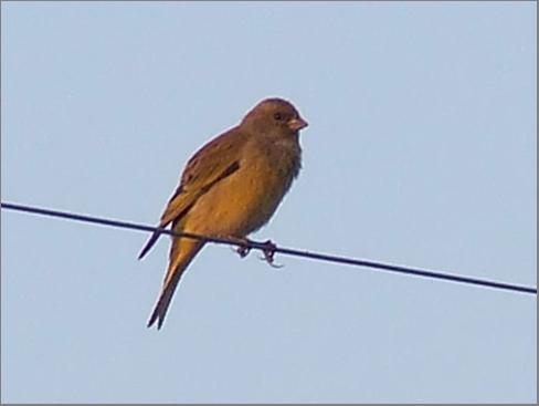 maybe grey headed sparrow