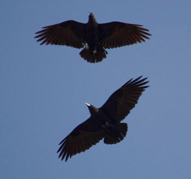 White-necked Raven_0656_s