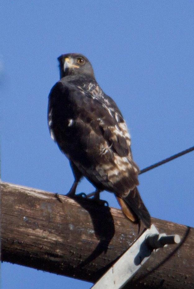 Boston birds_1092_Jackal Buzzard_adult
