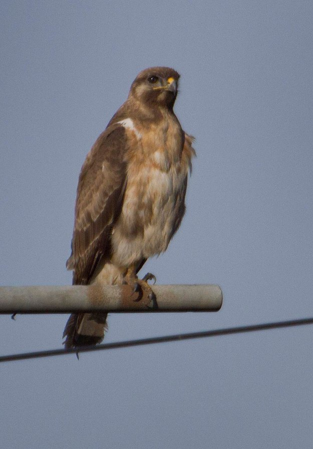 Boston birds_1185_Jackal Buzzard_juv