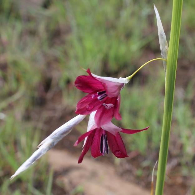 Dierama latifolium CGrant