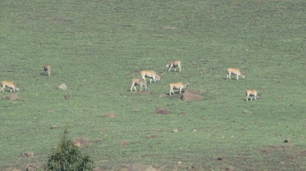 eland on inhlosane