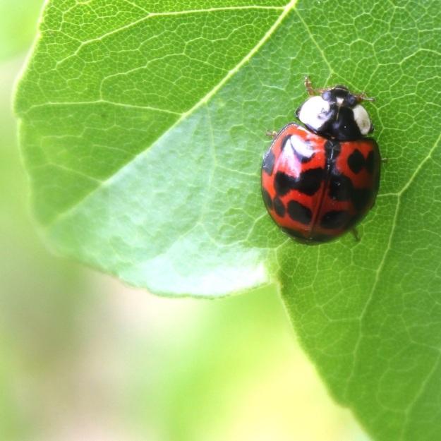 Ladybird CGrant