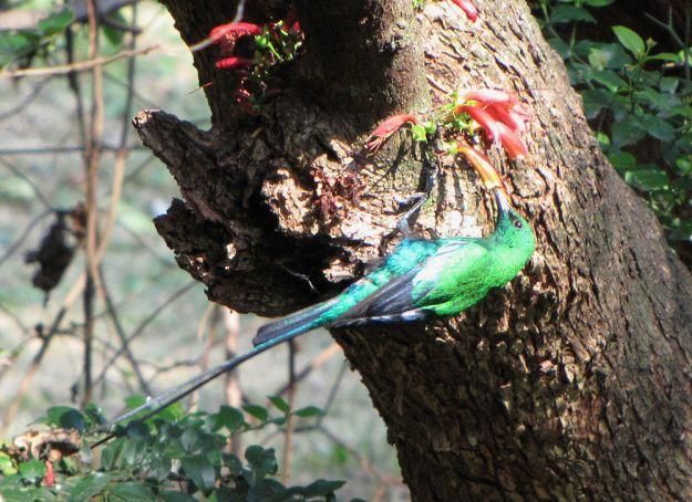r malachite sunbird