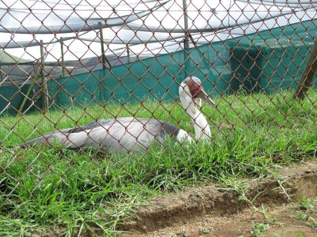 r wattled crane