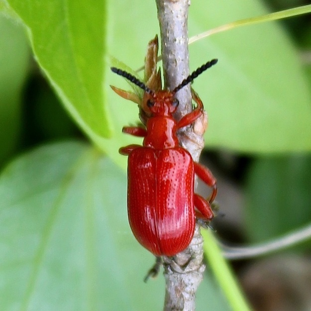 Small red bug CGrant
