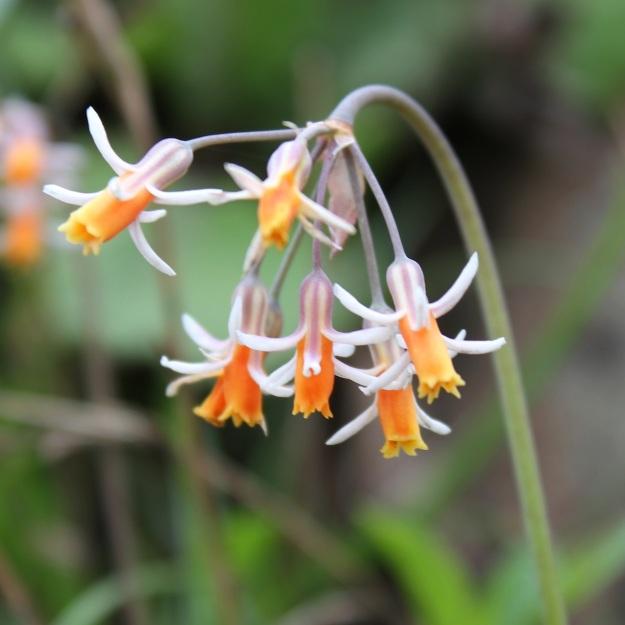 Tulbaghia leucantha CGrant