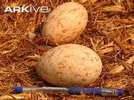 Wattled-crane-eggs Photo 2
