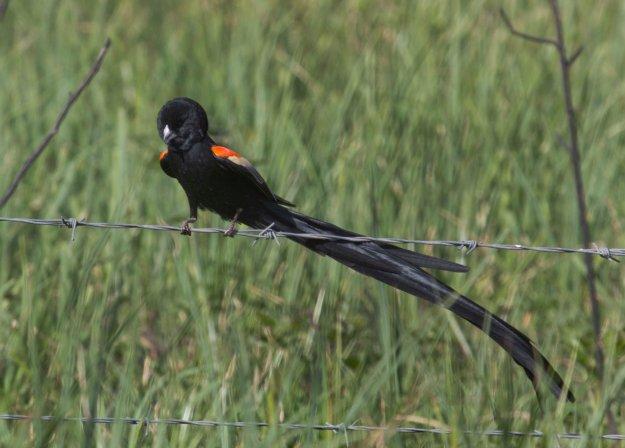 Boston birds_3734_Long-tailed Widow