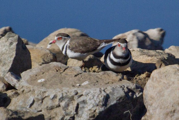 Three-banded Plover_1551