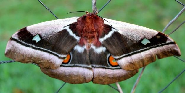 2013 11 Common Emperor moth