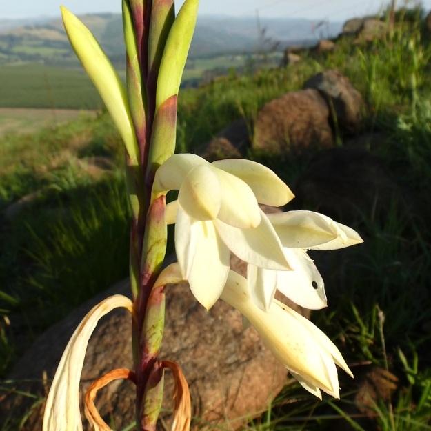 2013 11 White Watsonia