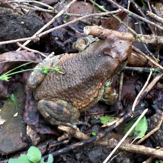 Amphibian Red Toad