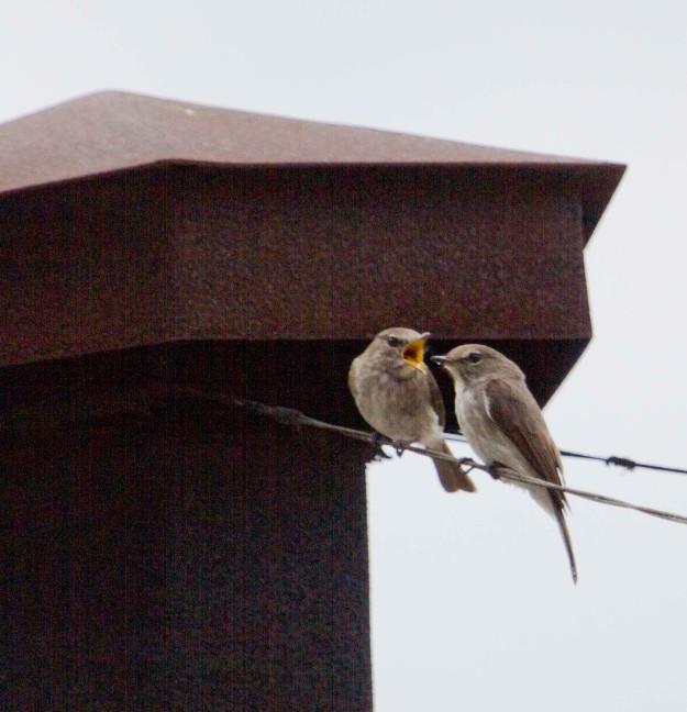 Boston birds_4626_African Dusky Flycatcher