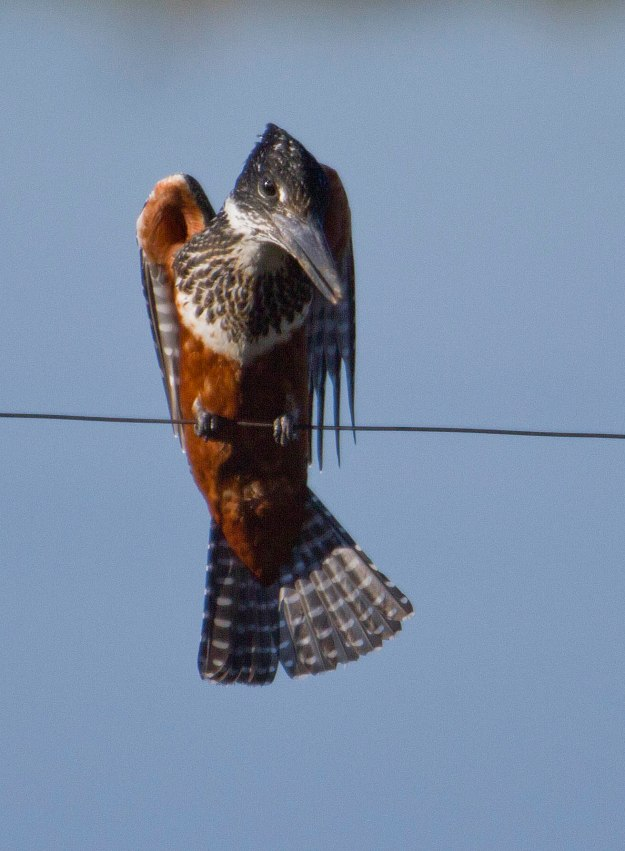 Boston birds_5531_Giant Kingfisher_fem