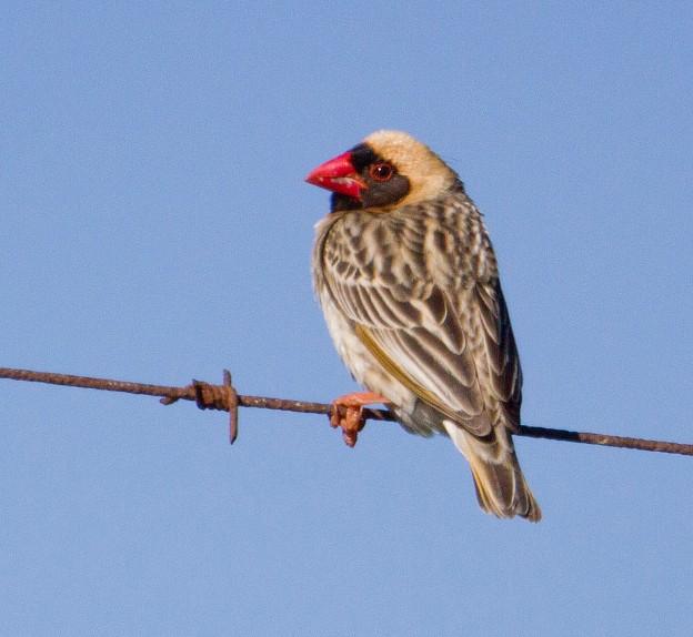 Boston birds_5746_Red-billed Quelea