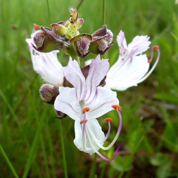 Flower Becium obovatum