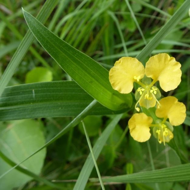 Flower Commelina africana