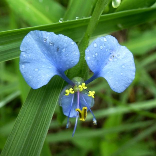 Flower Commelina erecta