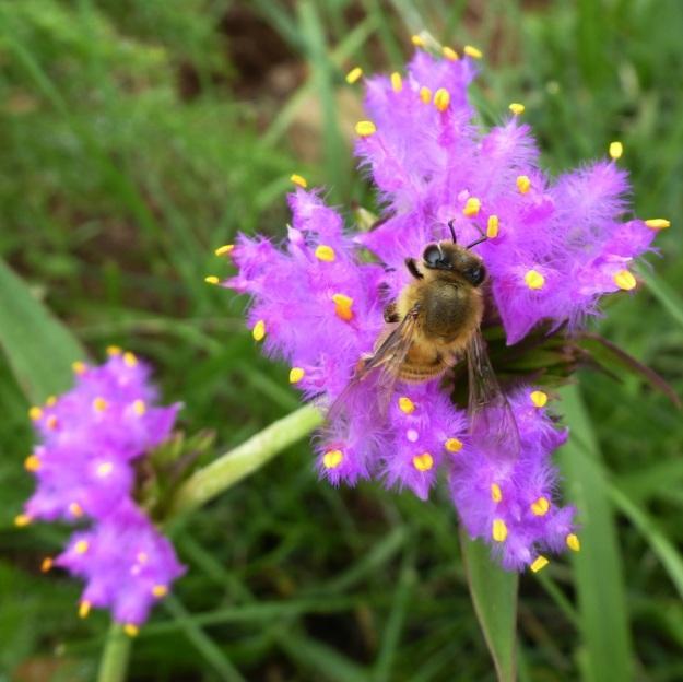 Flower Cyanotis speciosa with bee