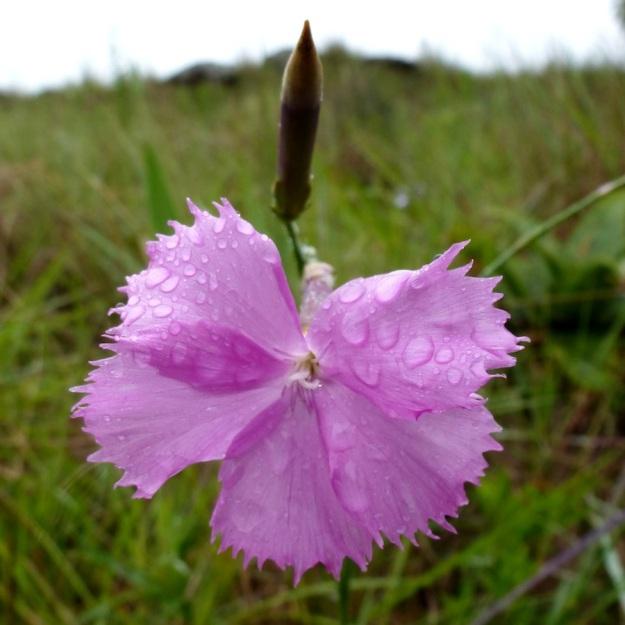 Flower Dianthus zeyheri