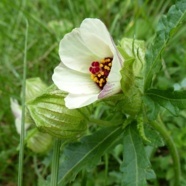 Flower Hibiscus trionum