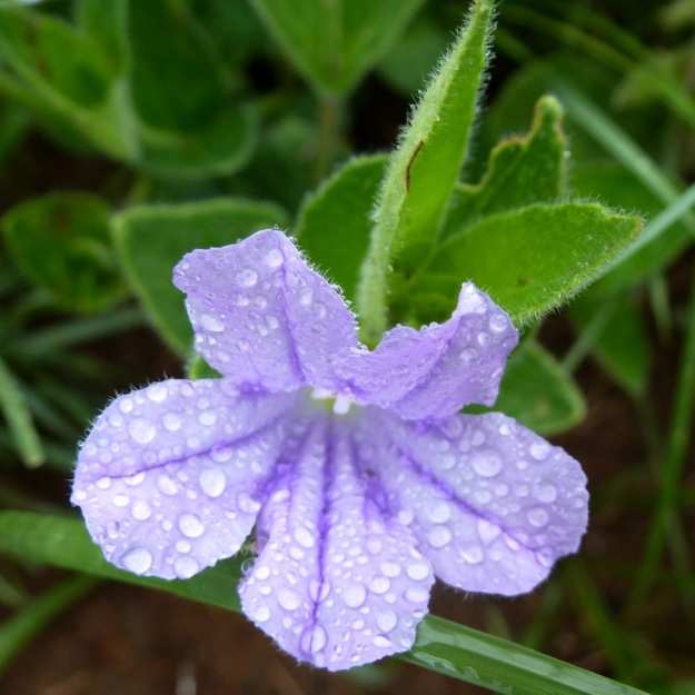Flower Ruellia cordata