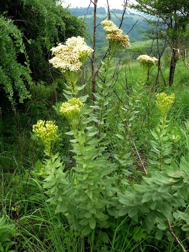 Flower Senecio pos serratuloides