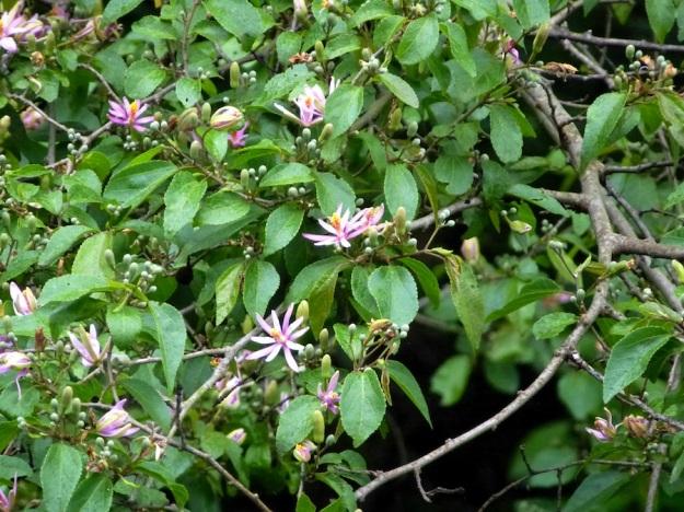 Flower Tree Grewia occidentalis