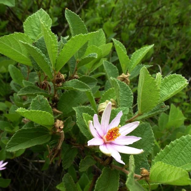 Flower Tree Shrub Grewia hispida