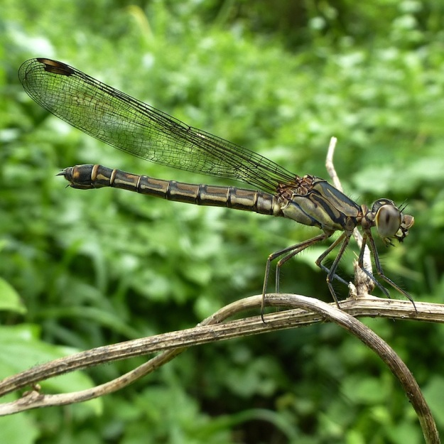 Insect Dragonfly pos Gomphidae Clubtail