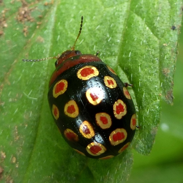 Insect Leaf Beetle sp