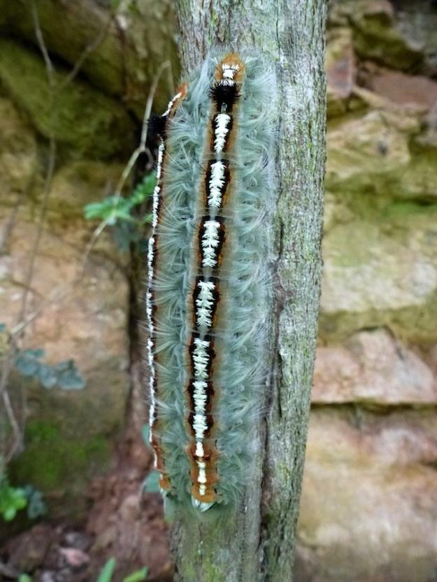 Insect Moth caterpillar pos fam Lasiocampidae 01