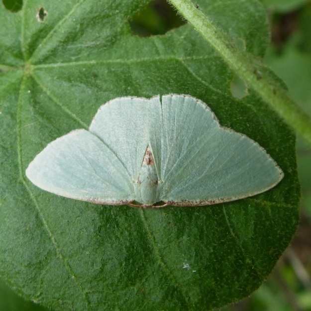 Insect Moth pos one of the Emerald Moths fam Geometridae