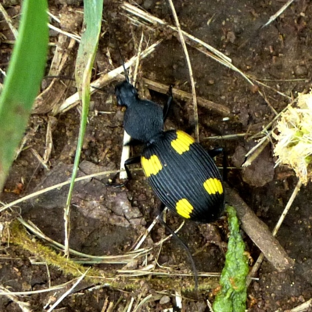 Insect Yellow-spotted Ground Beetle