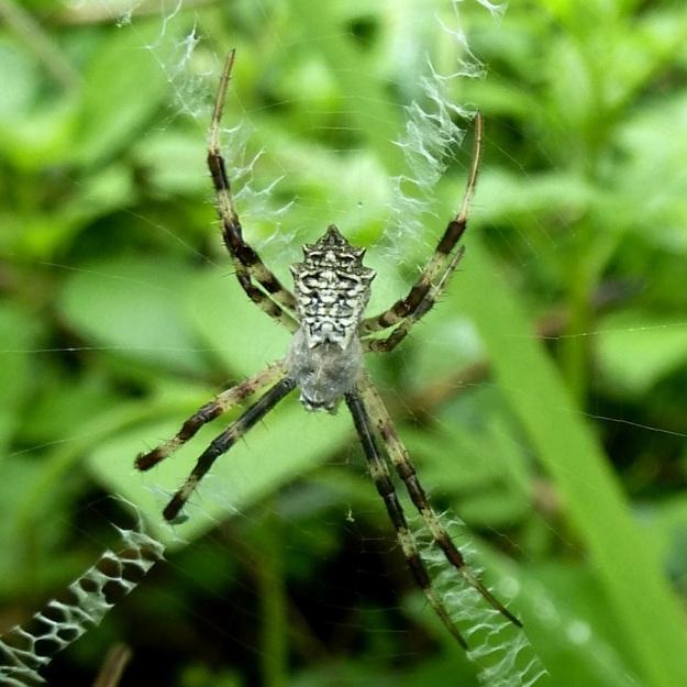 Spider Orb Web Spider