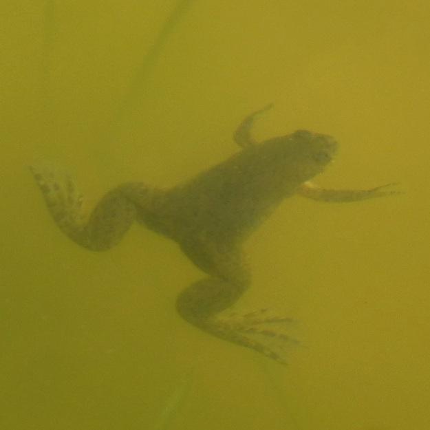 2013 12 Amphibian 02 Common Platanna Xenopus laevis