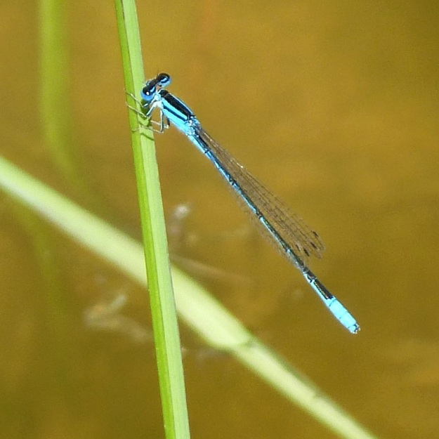 2013 12 Insect 02 Swamp Bluet Africallagma glaucum