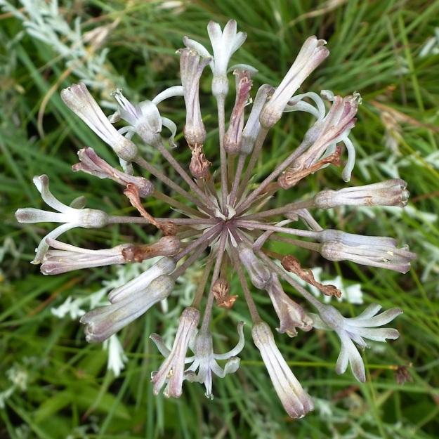 2013 12 Plant Drimia sphaerocephala