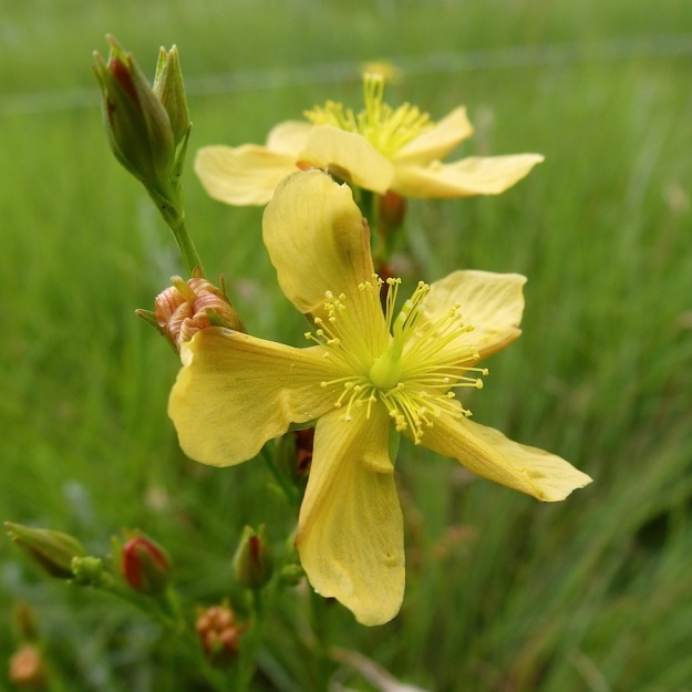 2013 12 Plant Hypericum lalandii