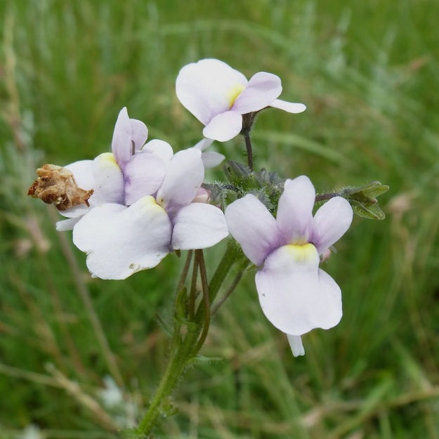 2013 12 Plant Nemesia caerulea